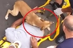 Clip: Chó cưng lo sốt vó, che chắn bảo vệ chủ khỏi nhân viên cứu thương