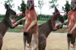 Clip kangaroo hôn tay xin lỗi bạn hút triệu views trên Facebook