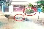 Clip: Bò chạy điên cuồng trên phố, vồ chết người đi xe máy