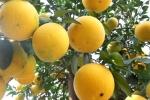 Video: Chiêm ngưỡng cây bưởi diễn giá 100 triệu đồng chơi Tết