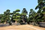 Video: Choáng với vườn tùng La Hán hàng trăm tỷ đồng tại Hà Nội