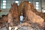 Gốc bàng cổ kỳ bí: 600 năm tuổi giá 35 tỷ đồng