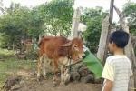 Thực hư cán bộ xã mang bò chính sách bán vào lò mổ: Kiểm tra dấu hiệu vi phạm