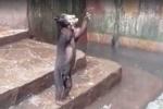 Gấu gầy trơ xương cầu xin thức ăn trong 'vườn thú tử thần' ở Indonesia