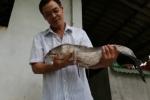 Cận cảnh cặp cá lóc 'khủng' 14 kg của nông dân miền Tây