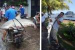 Thực hư hình ảnh cá mập xuất hiện trên bờ vịnh Hạ Long
