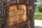 Hàng chục cây xà cừ ở đường Láng bị đẽo trộm để làm thuốc giả?