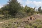 Lợn rừng thông minh khiến sư tử 'bất lực'