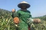 Dứa Việt 2.000 đồng/kg thối đầy đồng, nhà giàu ăn dứa ngoại đắt gấp 75 lần