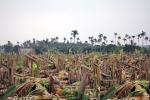 Côn đồ triệt hạ hàng nghìn cây chuối của dân: Công an Hải Phòng lên tiếng