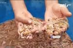 Dân Hải Phòng sung sướng kiếm bộn tiền nhờ thu hoạch 'lộc trời'