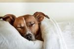 Nghiên cứu mới: Chó vẫn học hỏi ngay cả trong lúc ngủ
