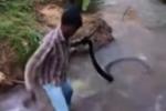 Video: 'Thầy rắn' Ấn Độ tay không giải cứu hổ mang chúa khổng lồ