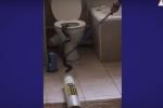 Video: Hoảng hồn phát hiện rắn hổ mang chui lên từ bồn cầu nhà vệ sinh