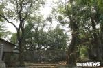 Một nhánh của cây sưa khổng lồ ở Hà Nội từng được bán đấu giá 31 tỷ đồng