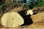 Phá rừng quy mô lớn ở Quảng Nam: Một giám đốc bị bắt giam