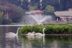 Đàn thiên nga ở hồ Thiền Quang được bảo vệ thế nào trong dịp Tết?