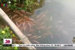 Clip: Mục sở thị đàn cá trê màu hồng phấn kỳ lạ ở Cần Thơ