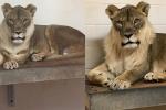 Vườn thú phát hoảng vì sư tử cái biến thành sư tử đực