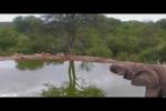 Clip: Bị voi rừng truy sát, sư tử khiếp vía chạy trối chết