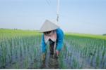 Phương pháp mới cấy lúa hàng biên