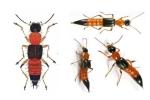 Bộ Y tế khuyến cáo cách trị kiến ba khoang độc gấp 15 lần rắn hổ