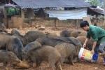 Video: Ngắm đàn lợn rừng của thanh niên Hà Nội cho thu nhập hàng trăm triệu đồng mỗi lứa