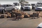 Nam Phi: Kẹt xe nghiêm trọng do đàn sư tử 'liên hoan' giữa đường