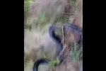 Dân vây bắt hổ mang chúa 7kg, dài gần 4m ở Yên Bái