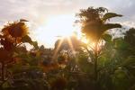 Video: Đổ xô đi check in vườn hoa mặt trời giữa lòng Hà Nội