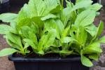 Những loại rau cực dễ trồng trong mùa đông cả nhà ăn không hết