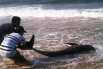 Cá voi chết bất thường ở Huế, dân sợ do trúng độc