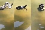 Rùng mình xem rắn vua tử chiến rắn đuôi chuông dưới nước