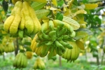 Thu nhập nửa tỷ đồng mỗi năm nhờ trồng phật thủ