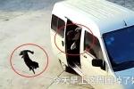 Clip: Cẩu tặc Trung Quốc đi ô tô, quăng thòng lọng trộm chó trong 5 giây gây sốc