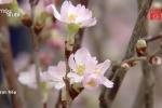 Hà Nội sắp xuất hiện 'rừng' hoa anh đào Nhật Bản