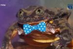 'Hoàng tử' ếch cô đơn nhất thế giới tuyển vợ