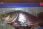 Clip: Ngư dân Đồng Tháp bắt được cá hô khủng nặng 60 kg