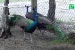 Tết Mậu Tuất 2018: Nở rộ thú chơi chim công ngũ sắc giá hàng chục triệu đồng