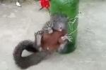Ăn trộm ngô, sóc bị chủ nhà trói vào chai bia tra tấn