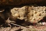 Clip: Khỉ láu cá cướp chuột từ miệng rắn ngoạn mục
