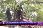 TP.HCM: Hối hả cắt tỉa cây xanh phòng chống mưa bão