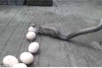 Video: Bị bắt quả tang trộm chục trứng, rắn oằn oại nôn trả