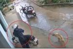 Chú chó 'dửng dưng' nhìn trộm bẻ khóa lấy xe máy giữa ban ngày