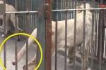 Sư tử tự cắn đứt đuôi mình để thoát khỏi hố băng trong sở thú Trung Quốc