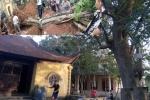 Cây sưa 200 tuổi khiến dân làng 'đổ máu' ở Bắc Ninh được bán giá 24,5 tỷ đồng