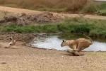 Linh dương thoát chết ngoạn mục trước cuộc phục kích của sư tử