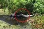 Clip: Cá sấu khủng ăn tươi nuốt sống đồng loại gây sốc
