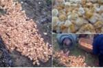 Clip: 1.000 chú gà con kêu gào thảm thiết khi bị bỏ rơi giữa cánh đồng