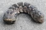 Dân khiếp đảm phát hiện sinh vật 2 đầu kỳ dị giống rắn trong vườn nhà